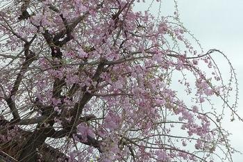 もしゃもしゃに枝垂れた桜.JPG