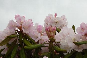 ピンクのつつじも雨に濡れて.JPG