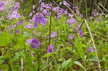 春の野山を飾る紫.JPG